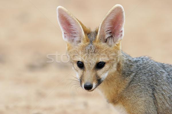 Cape fox portrait Stock photo © EcoPic
