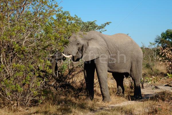 Feeding African elephant Stock photo © EcoPic