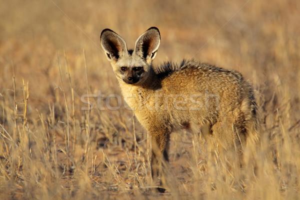 Bat-eared fox Stock photo © EcoPic