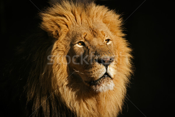 Big male African lion Stock photo © EcoPic