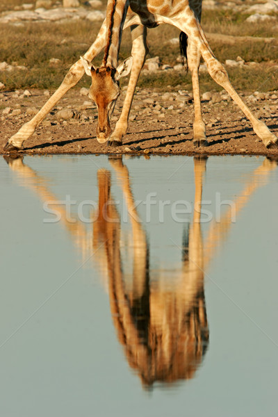 Giraffe reflection Stock photo © EcoPic