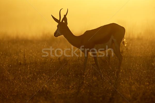 Springbok at sunrise Stock photo © EcoPic