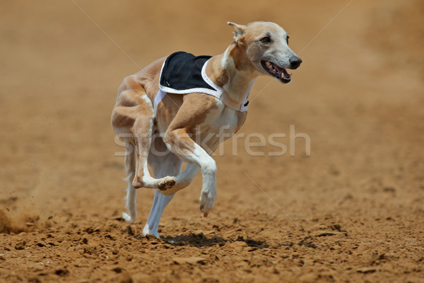Sprinting whippet dog Stock photo © EcoPic