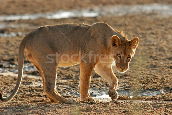 Young African lion  Stock photo © EcoPic