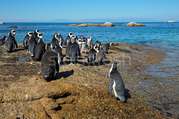 African penguins on coastal rocks Stock photo © EcoPic
