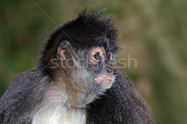 Spider обезьяны портрет лице Safari Открытый Сток-фото © EcoPic