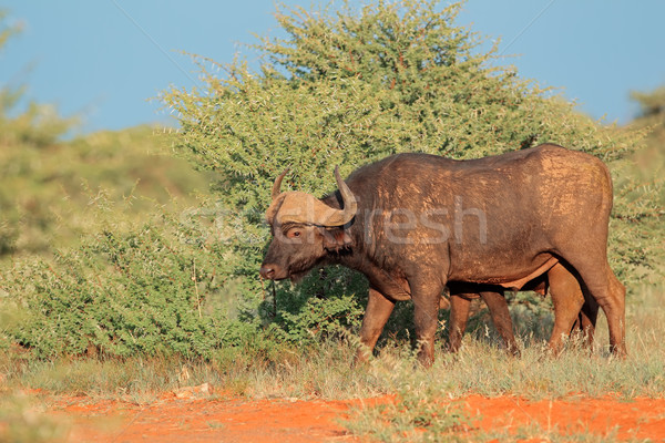 Buffalo in natural habitat Stock photo © EcoPic