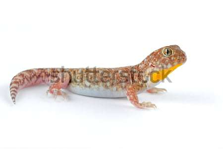 African barking gecko Stock photo © EcoPic