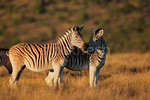 Alföld zebrák kora reggel fény Dél-Afrika fű Stock fotó © EcoPic
