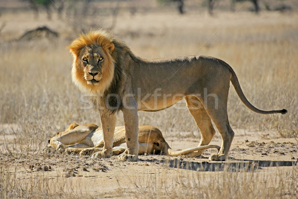 African lion pair Stock photo © EcoPic