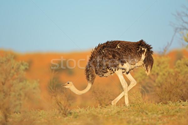 Female ostrich Stock photo © EcoPic