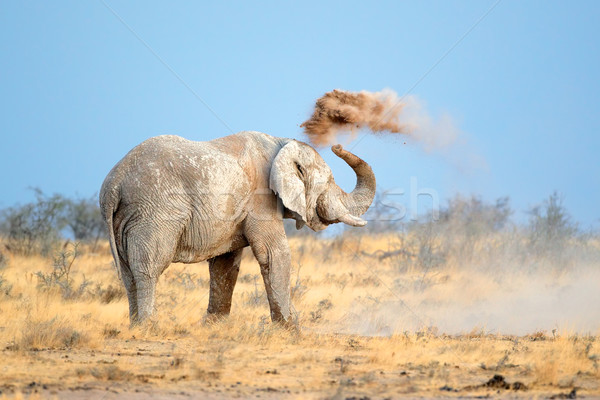 African elephant in dust Stock photo © EcoPic