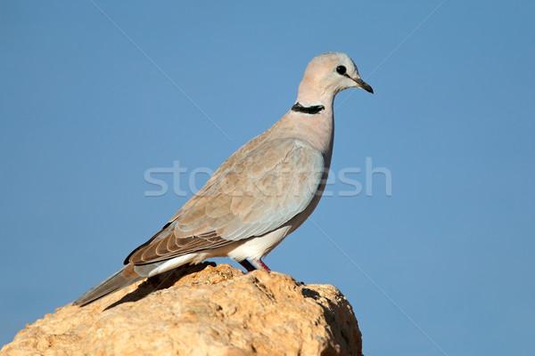 żółwia dove rock Południowej Afryki charakter ptaków Zdjęcia stock © EcoPic