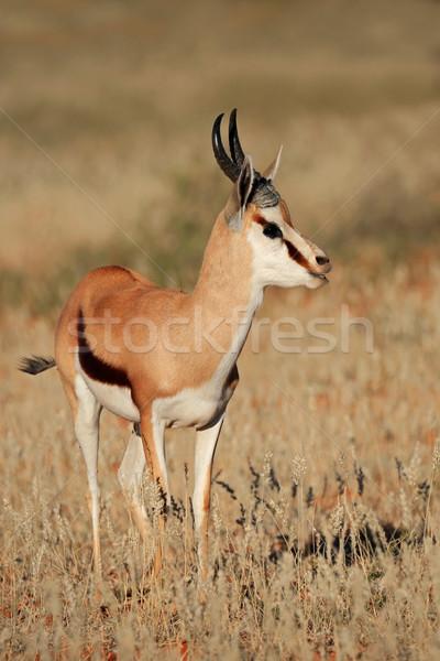 Springbok antelope Stock photo © EcoPic