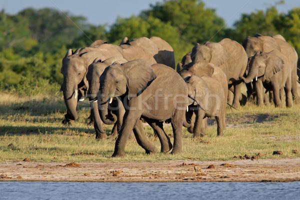 African elephants Stock photo © EcoPic