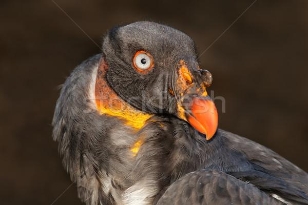 Amerikai király dögkeselyű portré természet állat Stock fotó © EcoPic
