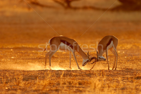 Fighting springbuck Stock photo © EcoPic