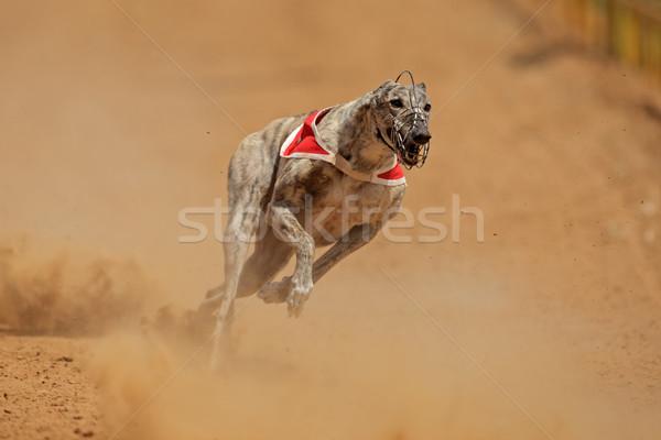 Sprinting greyhound Stock photo © EcoPic