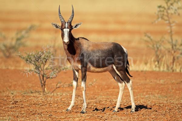 Bontebok antelope Stock photo © EcoPic