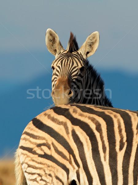 Alföld zebra portré Dél-Afrika arc szemek Stock fotó © EcoPic