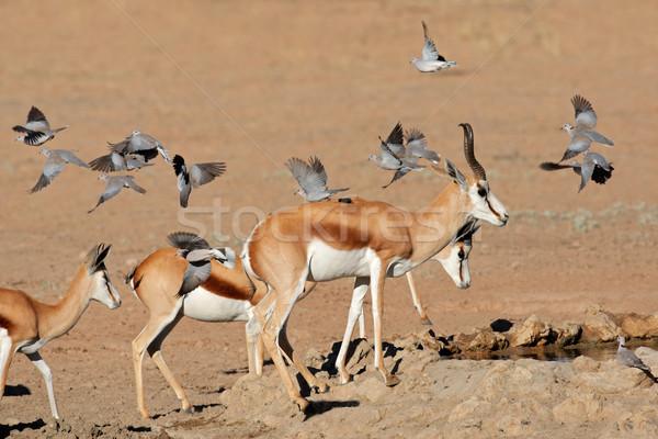 Springbok and doves Stock photo © EcoPic