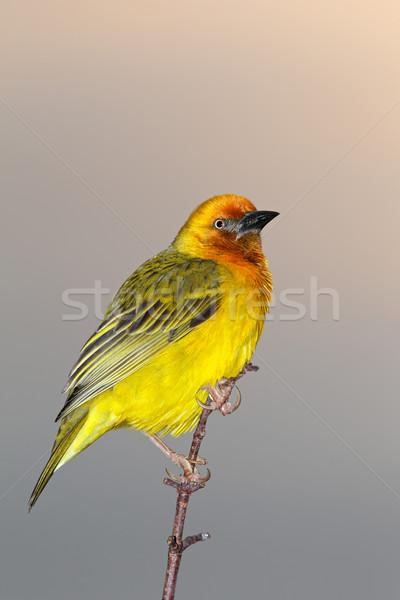 Masculina rama Sudáfrica aves África animales Foto stock © EcoPic