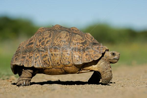 Hegy teknősbéka természetes környezet Dél-Afrika égbolt Stock fotó © EcoPic