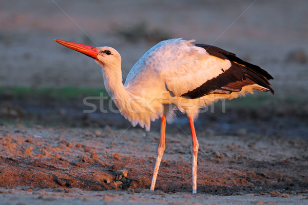 White stork Stock photo © EcoPic