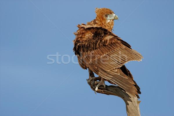 Aigle immature branche Afrique du Sud ciel nature Photo stock © EcoPic