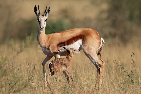 Springbok with lamb Stock photo © EcoPic
