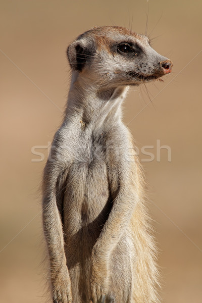 Meerkat portrait Stock photo © EcoPic
