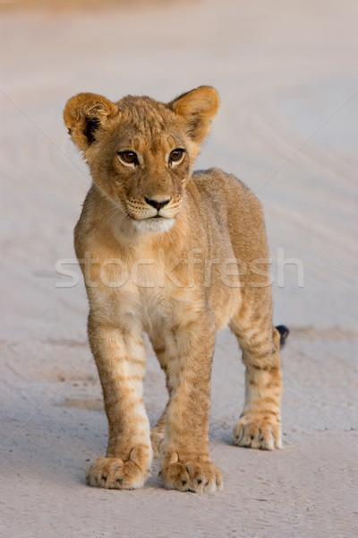 Lion cub  Stock photo © EcoPic