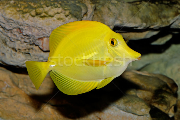 Yellow Tang  Stock photo © EcoPic