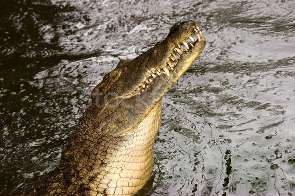 Nile crocodile Stock photo © EcoPic