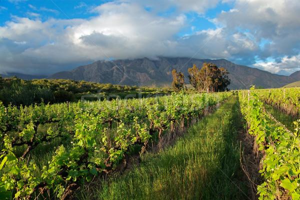 Vineyard landscape Stock photo © EcoPic