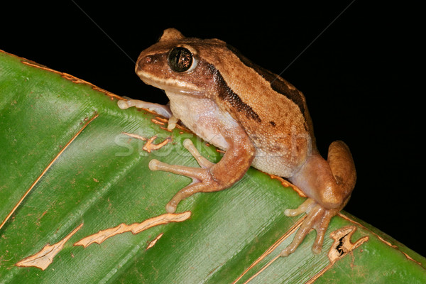 Brown-backed tree frog Stock photo © EcoPic