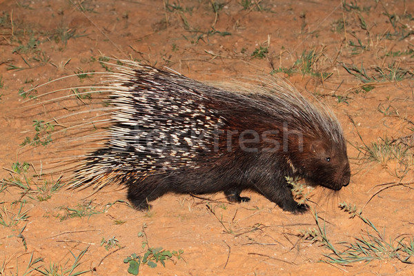 Cape porcupine Stock photo © EcoPic
