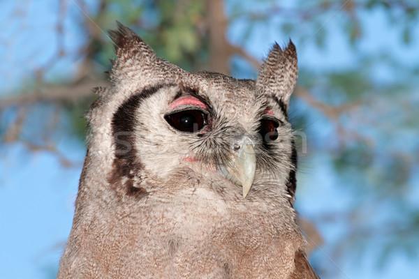 Giant eagle-owl Stock photo © EcoPic