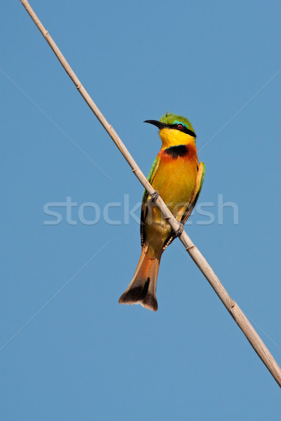 Little bee-eater Stock photo © EcoPic