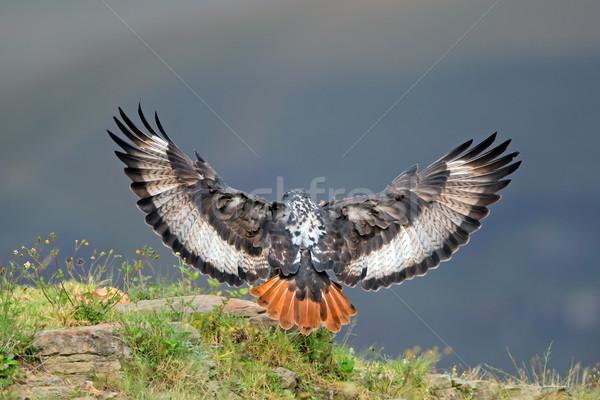 Urubu aterrissagem abrir asas África do Sul natureza Foto stock © EcoPic