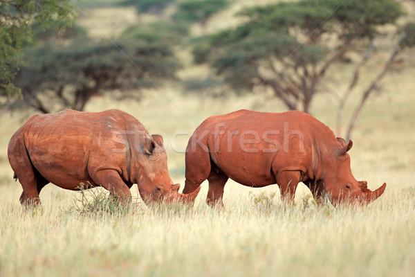 белый носорог пару природного среда обитания ЮАР Сток-фото © EcoPic