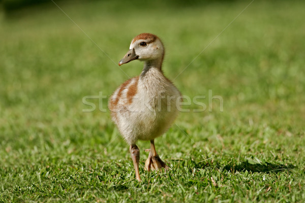 Egyptian goose duckling Stock photo © EcoPic