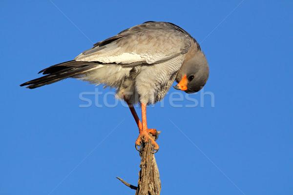 Pallido ramo Sudafrica albero uccello blu Foto d'archivio © EcoPic