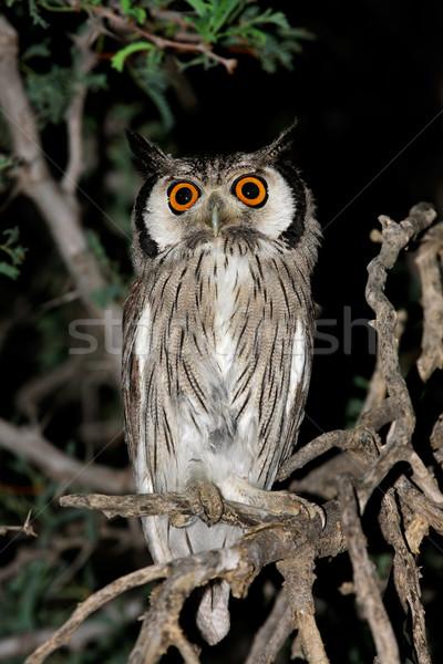 Coruja sessão árvore deserto África do Sul olhos Foto stock © EcoPic