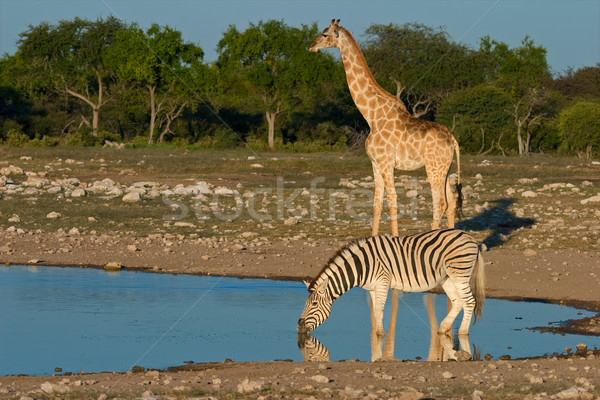 Etosha waterhole Stock photo © EcoPic