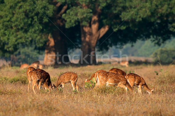 Spotted deer Stock photo © EcoPic