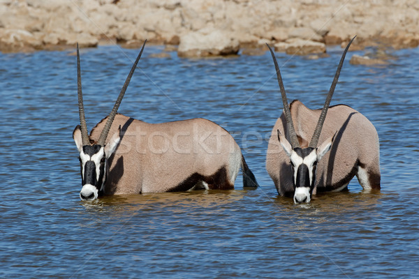 Gemsbok antelopes wading Stock photo © EcoPic