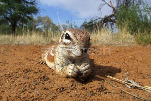 Inquisitive ground squirrel Stock photo © EcoPic