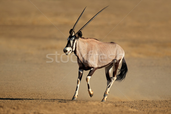 Running gemsbok antelope Stock photo © EcoPic