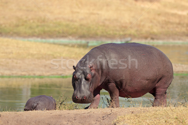 бегемот реке банка ЮАР синий ног Сток-фото © EcoPic